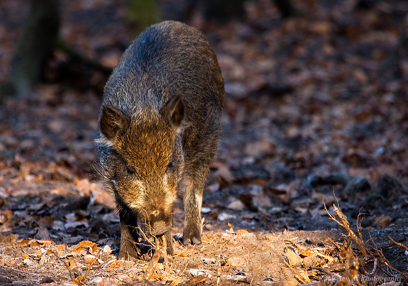 Young New Forest Boar