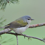 Tennessee Warbler 01