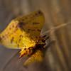 Florida Moth