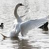 Swan stretch 01
