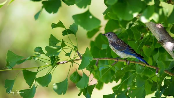Beautiful baby bluebird