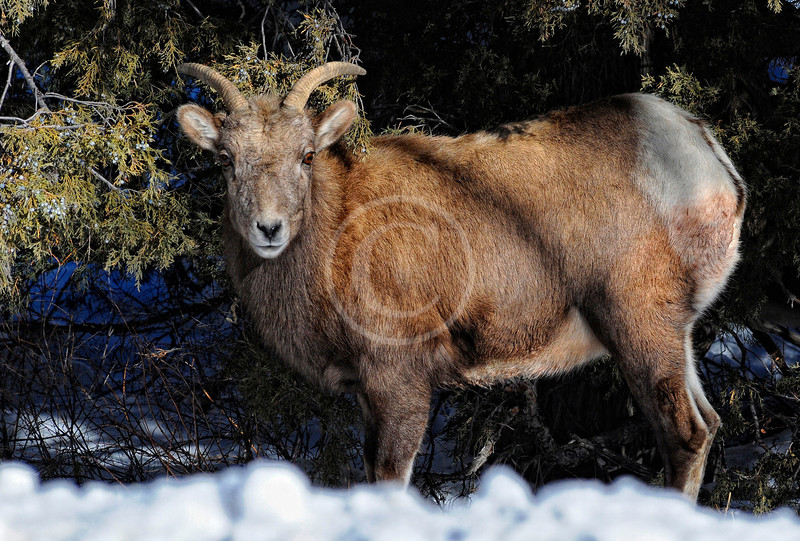 Colorado Mountain Sheep near Ouray Colorado