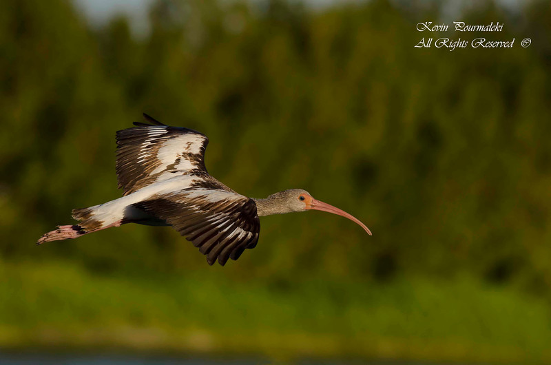Ibis. Everglades National Park, South Florida.