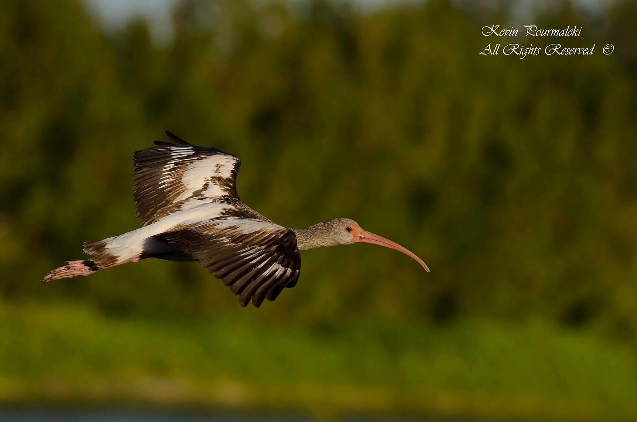 Ibis. Everglades National Park, South Florida.