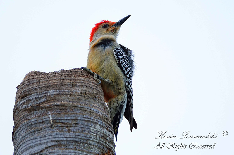 Red Bellied Woodpecker. South Florida.