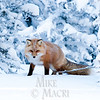 Red fox  hunting rodents under snow.