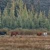 Horses. Grand Teton National Park, Wyoming.