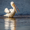 White Pelican and reflection