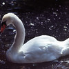 Young Swan in the Sunlight