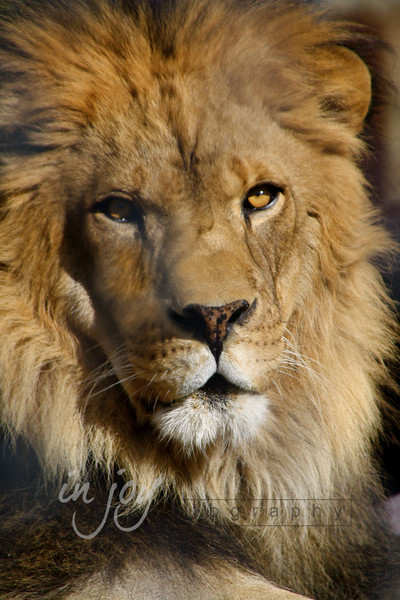 Lion from Shambala Big Cat Sanctuary, California.