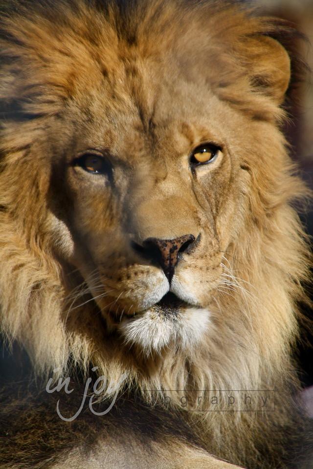 Lion from Shambala Big Cat Sanctuary, California.