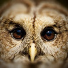 Barred Owl Eyes