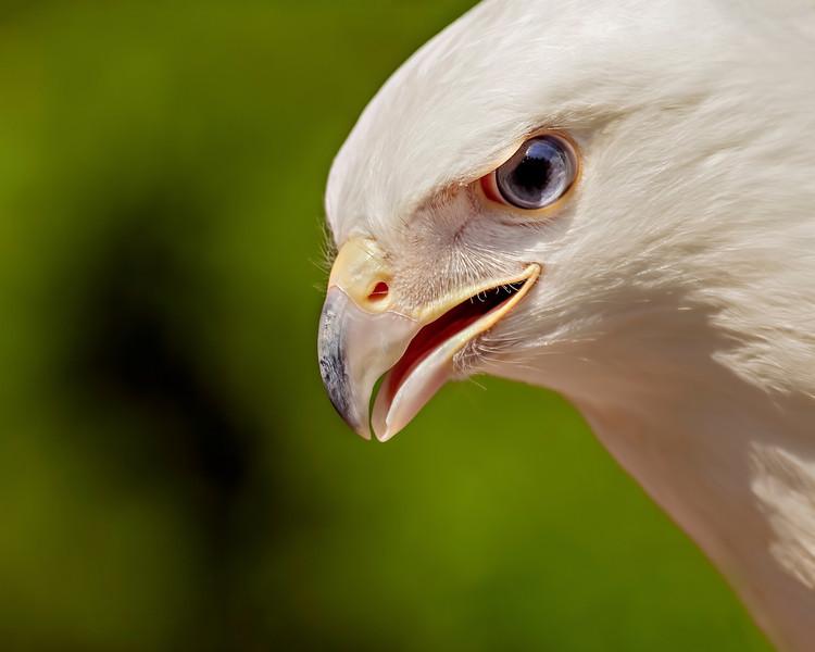 Leutean Red Tailed Hawk Portrait