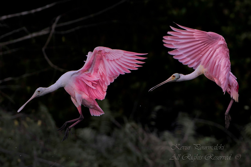 Spoonbills, South Florida.