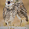 Man! Photographers are BORING!<br /> Burrowing Owl Pair<br /> Taken in Cape Coral, FL