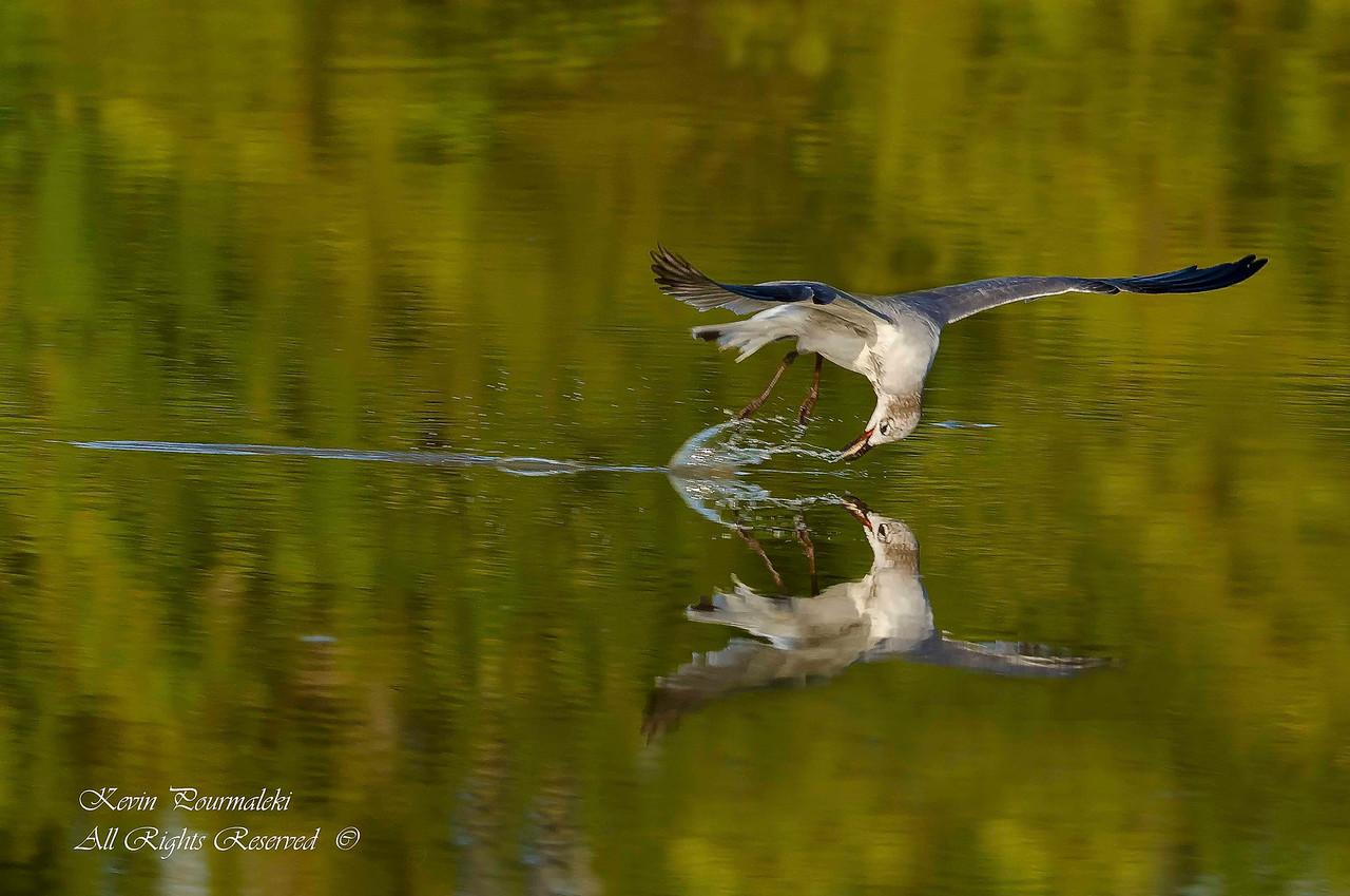 Gull. Everglades National Park, South Florida.