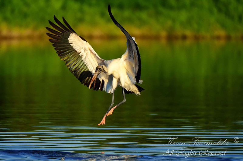 Wood Stork.  Everglades Nation Park, South Florida.