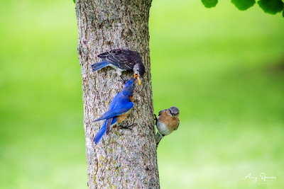 Bluebird parents with one of their 5 babies