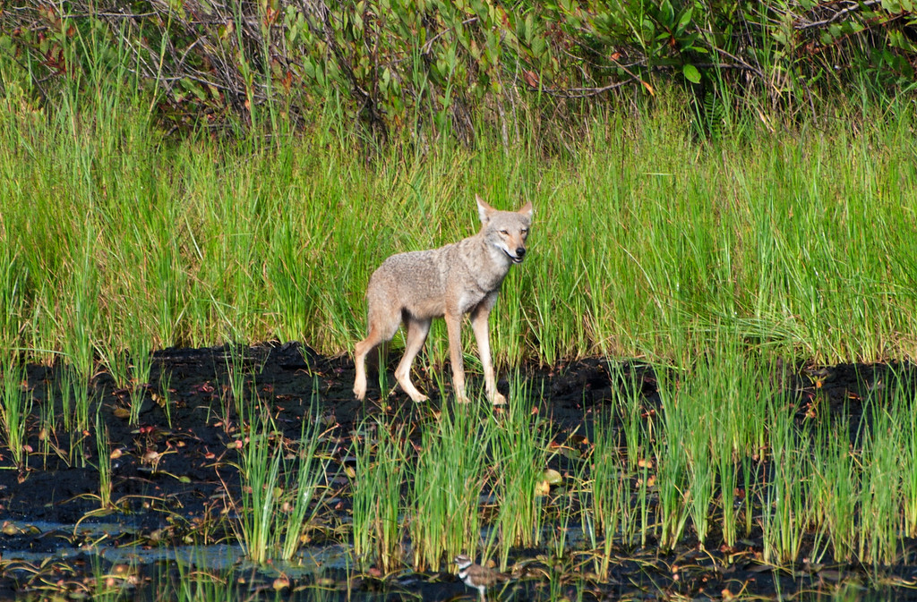 I wanted to test my 70-300mm lens so I tagged along with some friends at JDSP. We were looking at a pond that had a momma duck and baby when out of the brush this Coyote steps out and takes a drink. <br /> All of us just stopped and looked in awe.....To see that live first hand was unforgettable!! I've posted several pictures just because seeing them is so rare.