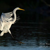 Great Egret. Everglades National Park, South Florida.