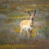 Pronghorn. Carrizo Plain National Monument.