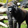 Ape, San Diego Zoo, San Diego, CA