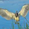 Tri Color Heron, Everglades  Holiday Park.  South Florida