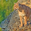 Mountain Lion, 3D Ranch. Columbia Falls, Montana.
