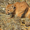 Mountain Lion, 3D Ranch. Columbia Falls, Montana.