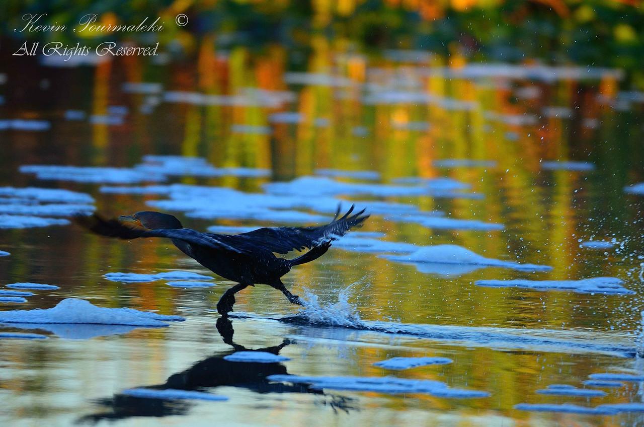 Cormorant, Everglades Holiday Park.  South Florida