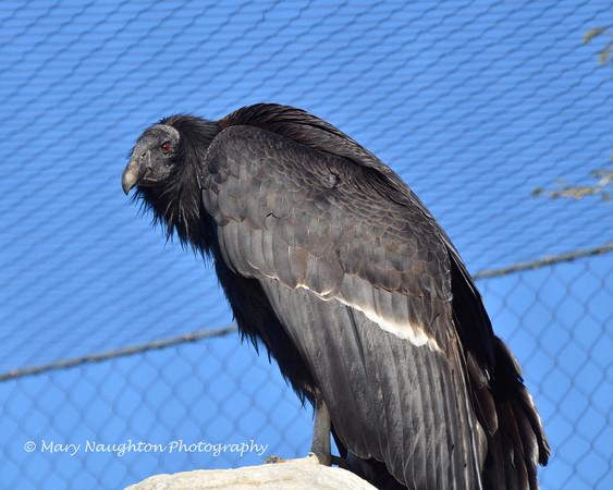 California Condor, San Diego Zoo, San Diego, CA