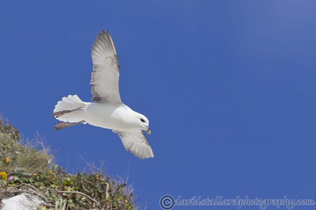 IMAGE: http://www.davidstallardphotography.com/Animals/Wildlife/i-Scn5DSN/0/XL/White%20Cliffs%20of%20Dover%2018-04-15%20%200034-XL.jpg