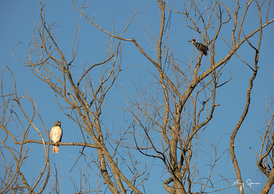 Hawk with Pileated Woodpecker