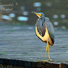Tri Color Heron, Everglades  Holiday Park.  South Florida