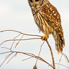 Barred Owl.  Everglades Nation Park, Florida.