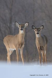 Michigan Doe Does - Deer  by Paw Prints Nature & Wildlife Photography