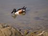 Northern Shoveler Duck by Pt. Isabel, Richmond, CA