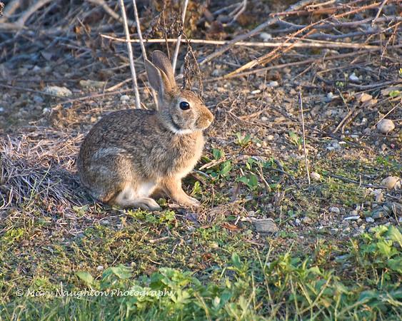 Wild Rabbit, Lido Preserve, Lido Beach, NY