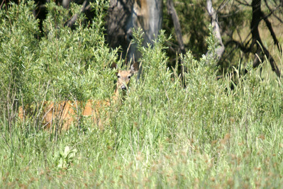 Deer and two fawns near Merriman, NE