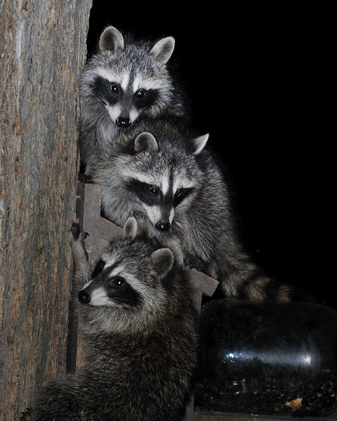 Raccoons 01