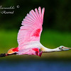 Spoonbill.  Everglades National Park.