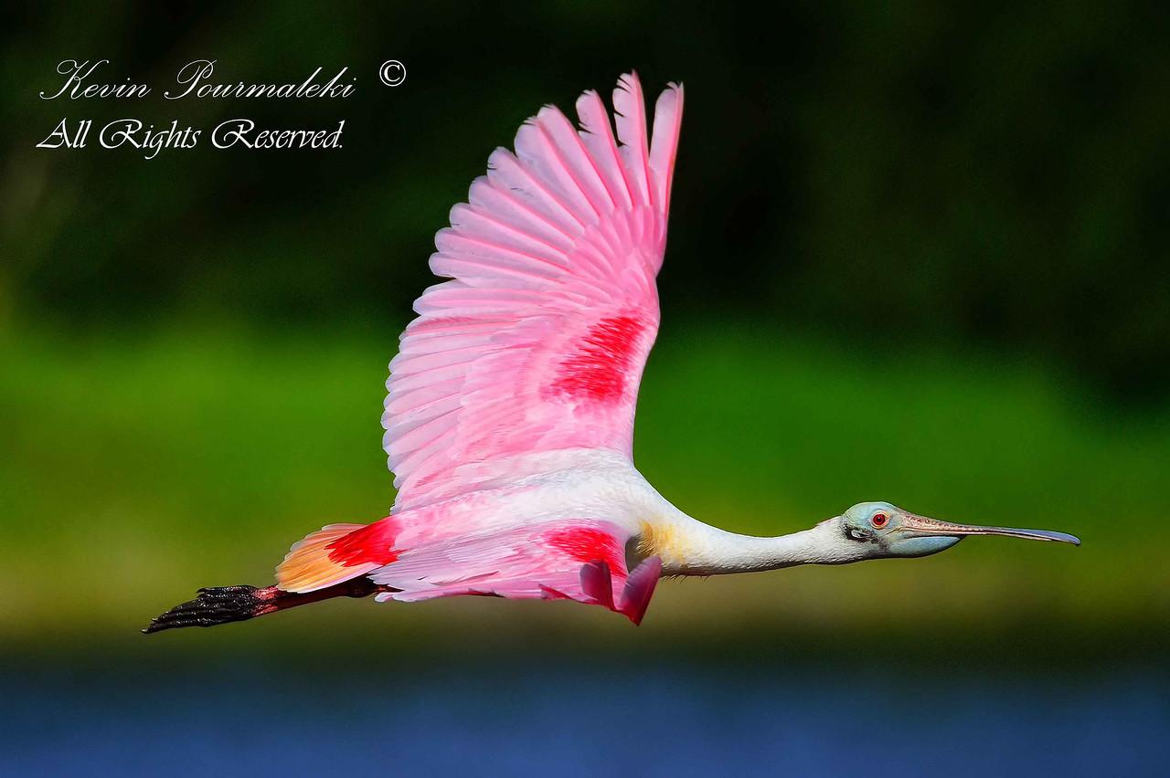 Spoonbill.  Everglades National Park.