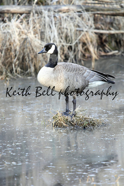 A Canadian Goose standing on a bog in a swamp surrounded by water.