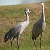 Sandhill Cranes, Harns Marsh, FL