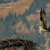 Osprey Chick, Grand Teton Nationl Park.