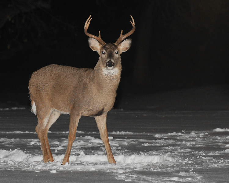 Whitetailed Deer 01