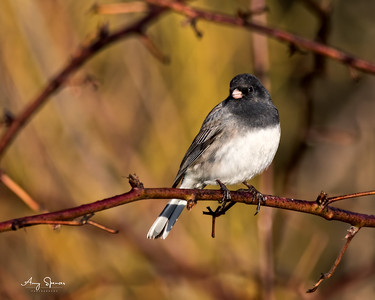 Junco in morning sunshine
