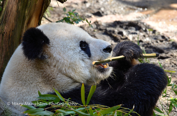 Panda, San Diego Zoo, San Diego, CA