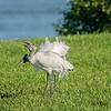 Wood Stork fun