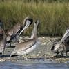 Preening Brown Pelicans